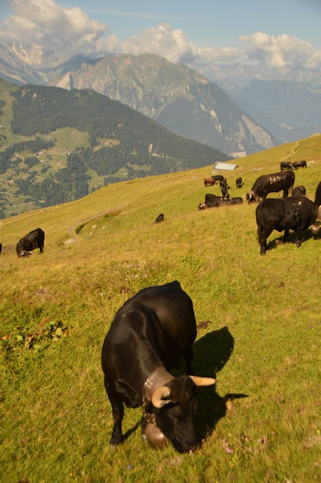 switzerland_verbier_swiss-cow