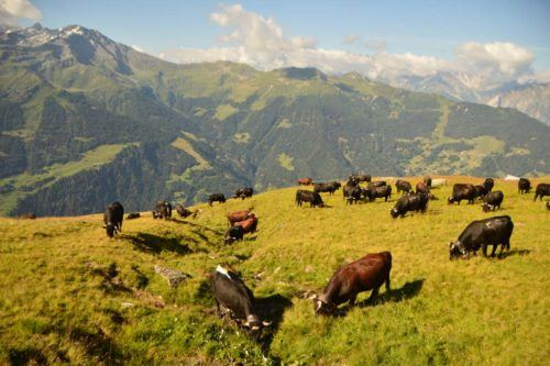switzerland_verbier_swiss-cows-2