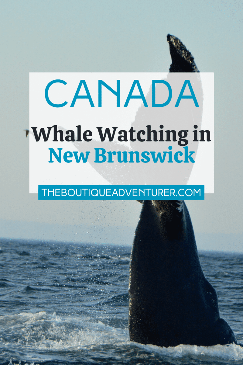 Looking for somewhere great to go whale watching? There is some fantastic whale watching in Canada. One of the best places to see whales in Canada is New Brunswick. Whale watching in St Andrews is world class – read my ultimate guide #whalewatching