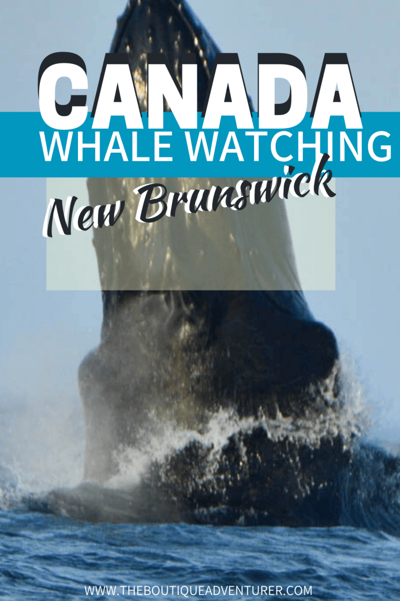 Looking for to go whale watching in Canada? Whale watching in St Andrews New Brunswick is fantastic – read about the best time to see whales in the Bay of Fundy in Saint Andrews, the different st Andrew whale watching tours and more in my ultimate guide #whalewatchingincanada#canadawhalewatching