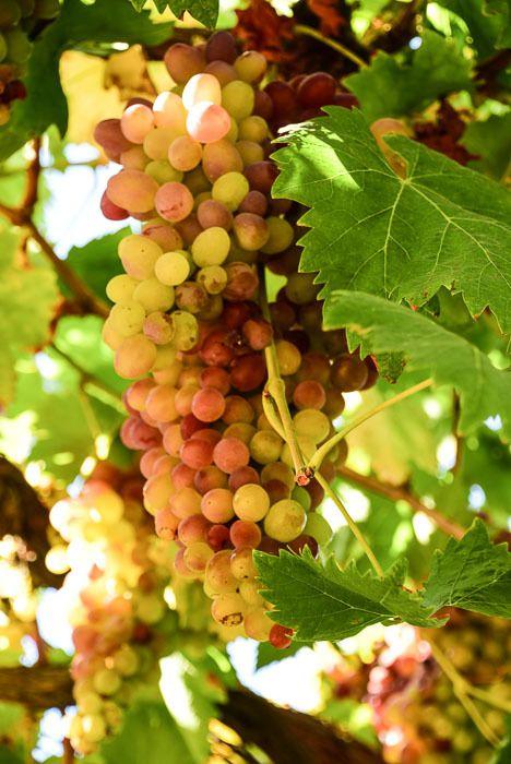 california_livermore_grapes