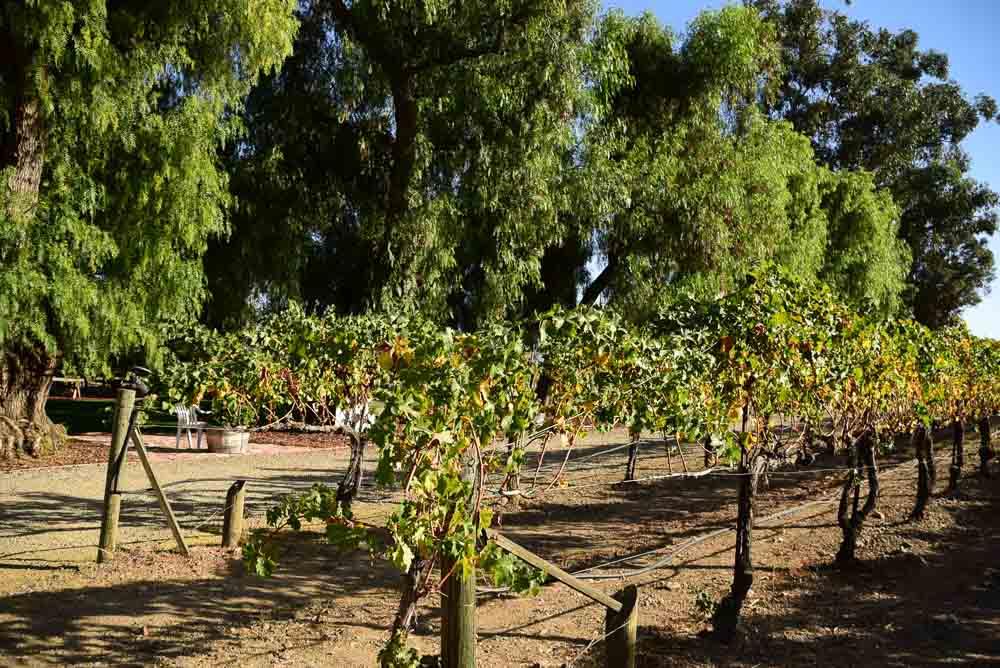 california_livermore_retzlaff-vineyard-grapes