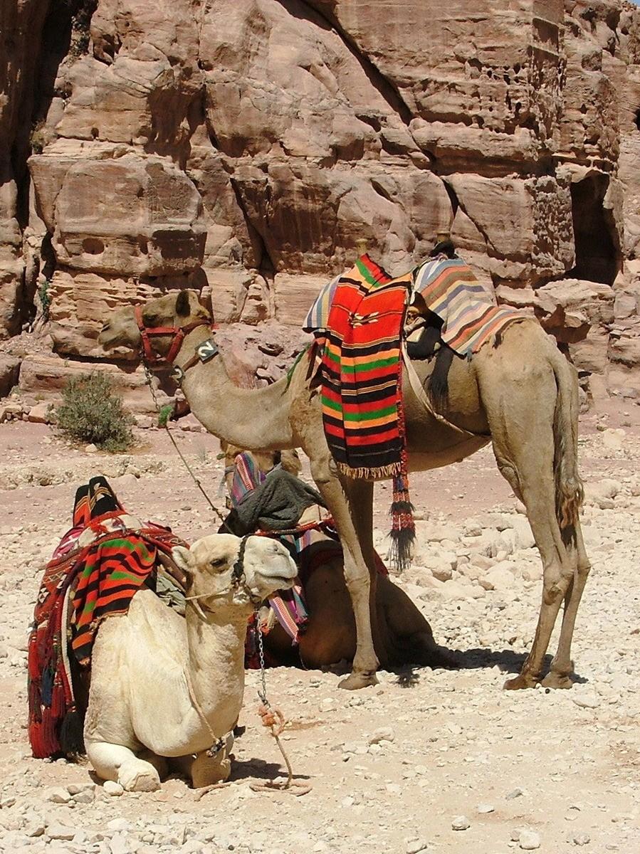 Jordan-petra-camels