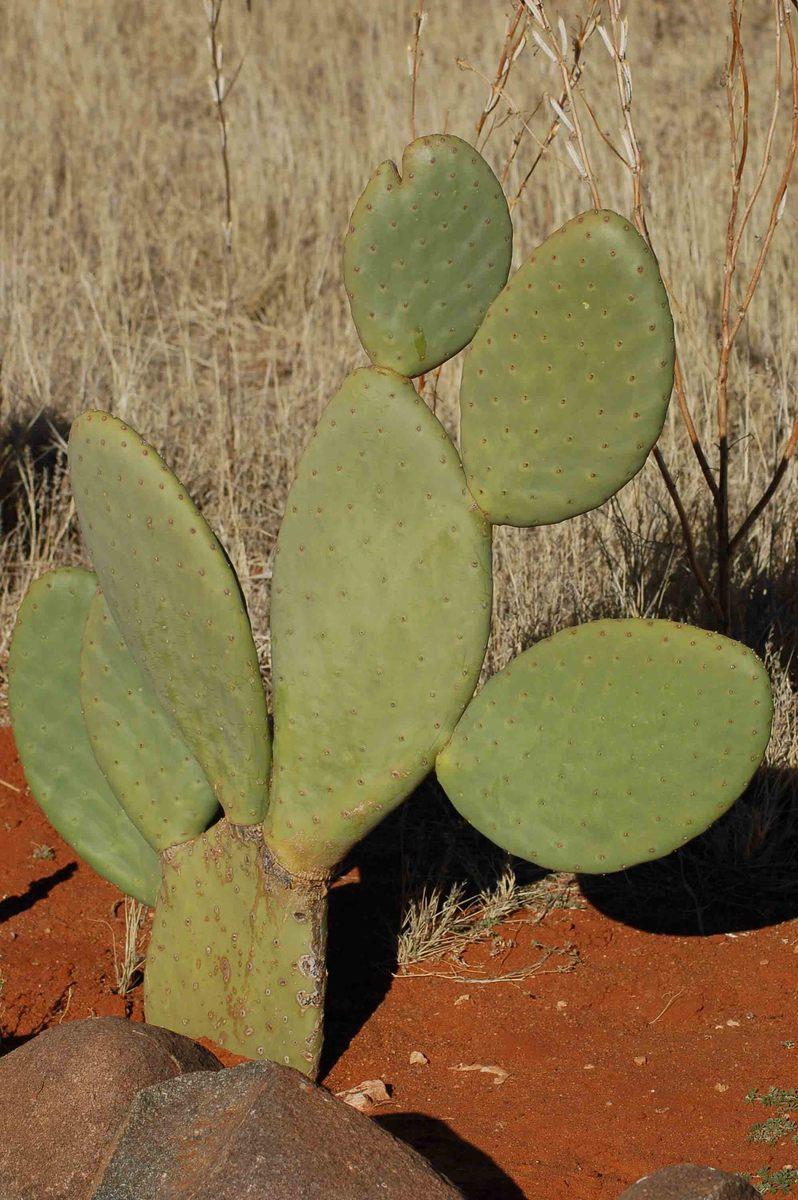 Namibia_kalahari_bagatelle-cactus