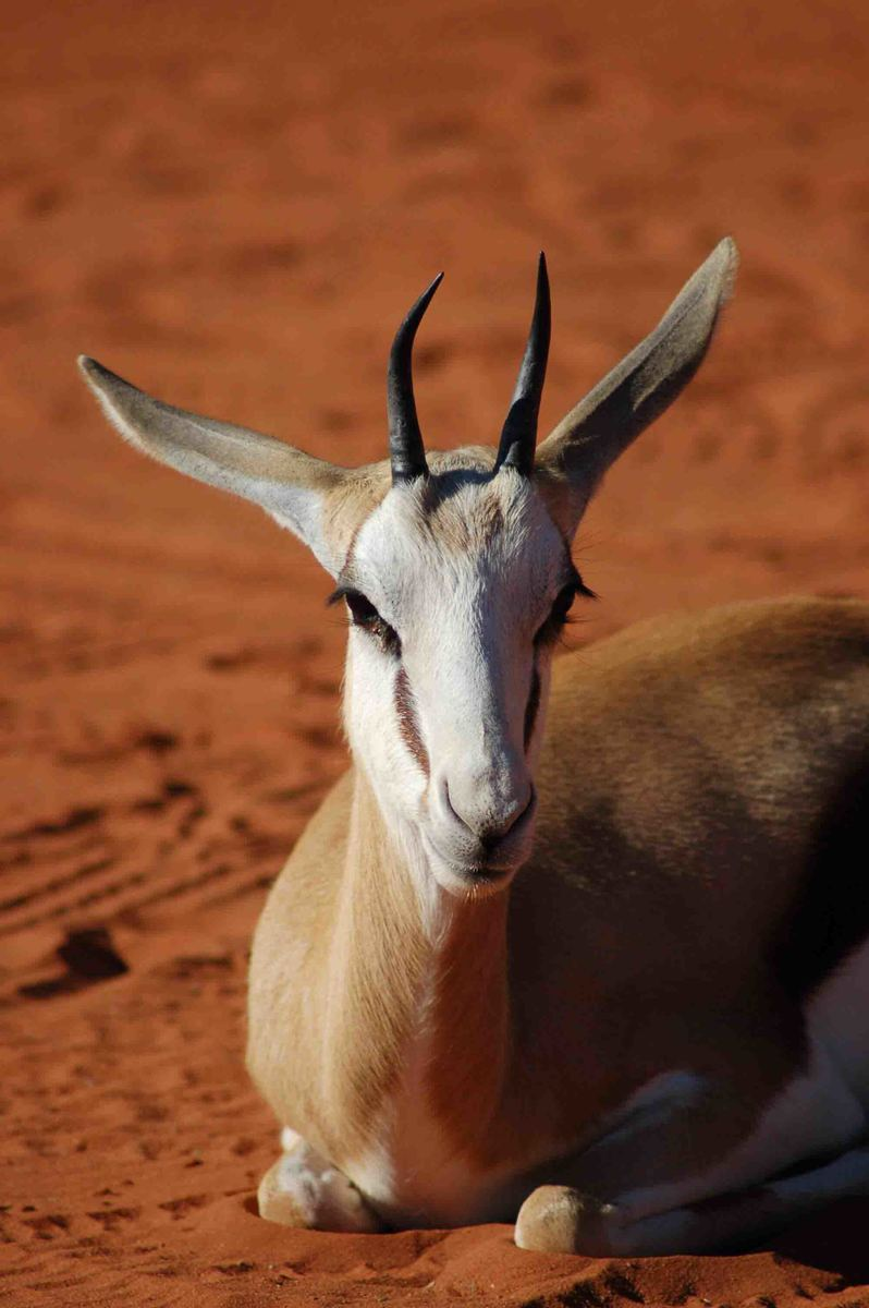 Namibia_kalahari_bagatelle-springboek
