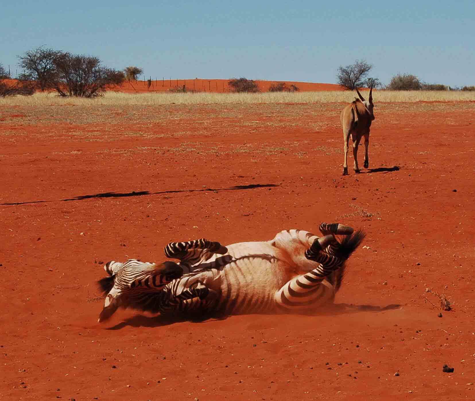 Namibia_kalahari_bagatelle-zebra