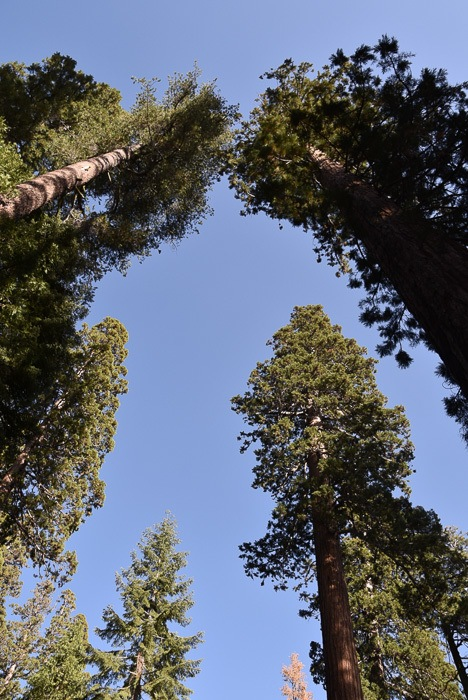 california_yosemite_mariposa-grove-2