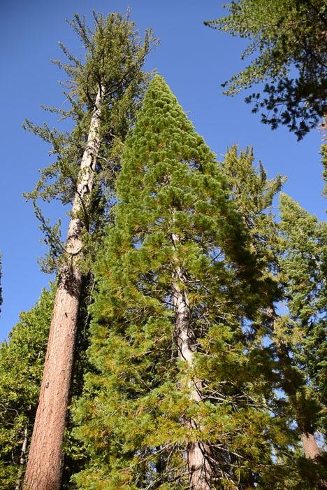 california_yosemite_mariposa-grove-5
