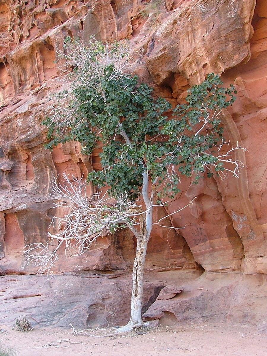 Jordan-wadi-rum-fig-tree