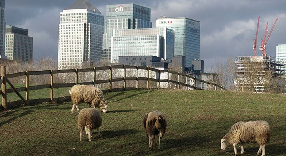Sheep on grass with canary wharf buildings in background
