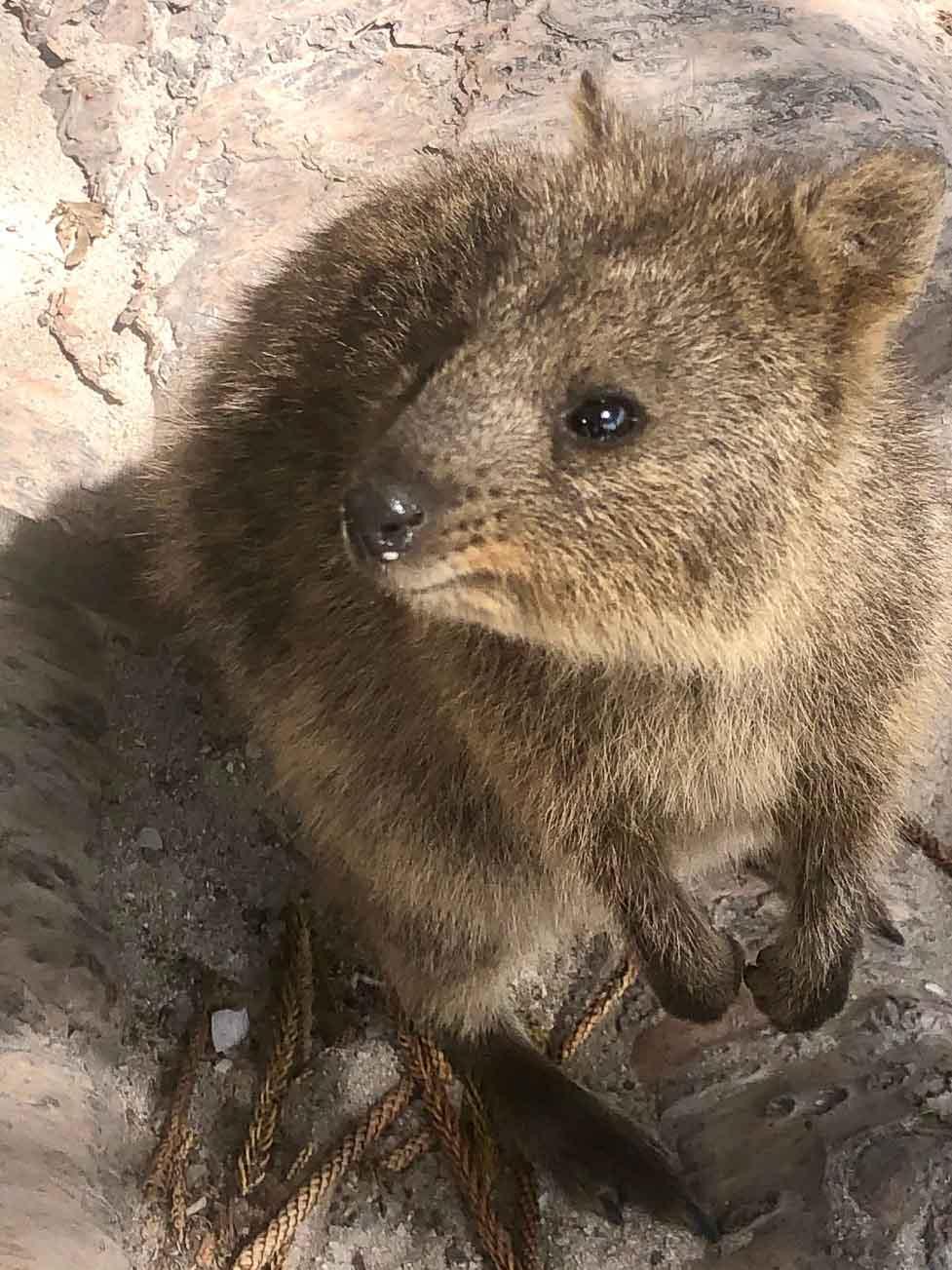 Perth_rottnest_island_quokka