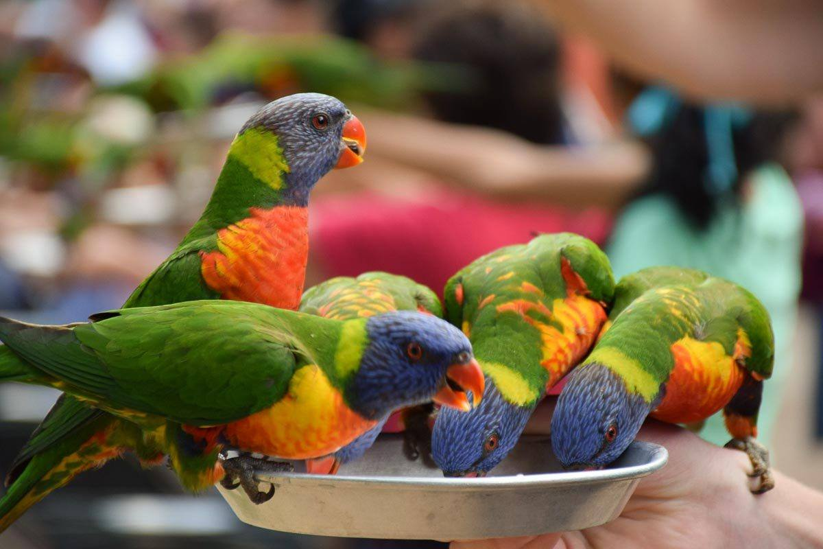Lorikeets at Currumbin Wildlife Sanctuary Gold Coast Queensland