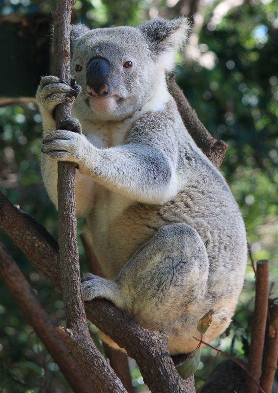 Koala at Currumbin Wildlife Sanctuary