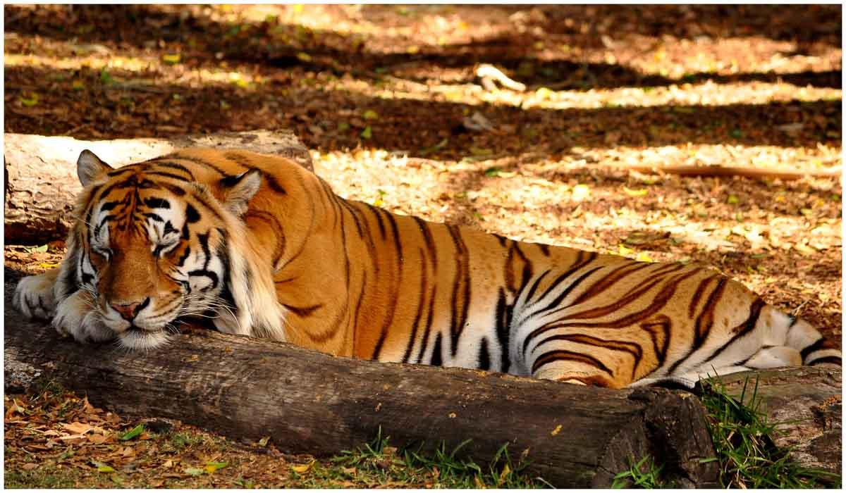 tiger-dreamworld