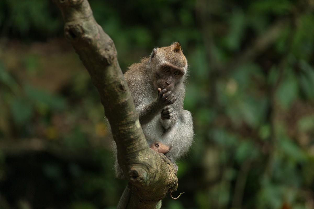 Indonesia - Bali - Ubud - monkey