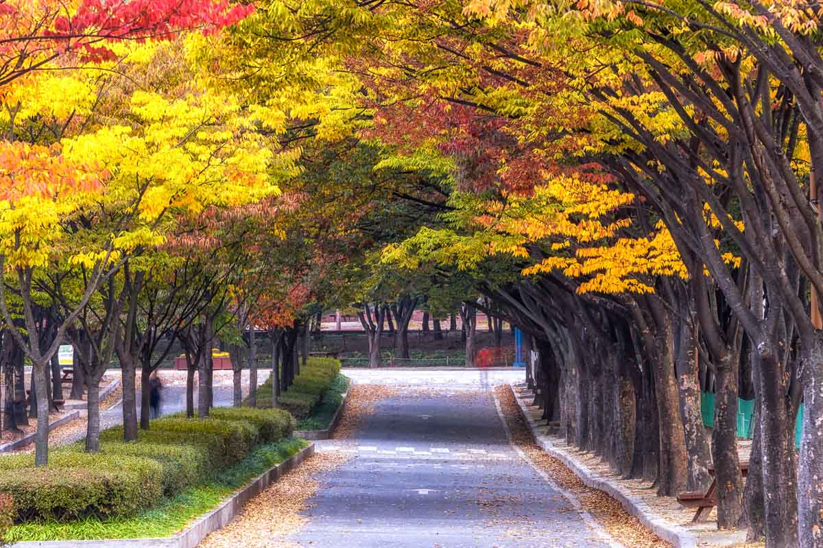 incheon grand park fall foliage view. Rows tall of tree line up the bike roads in incheon grand park, in south korea