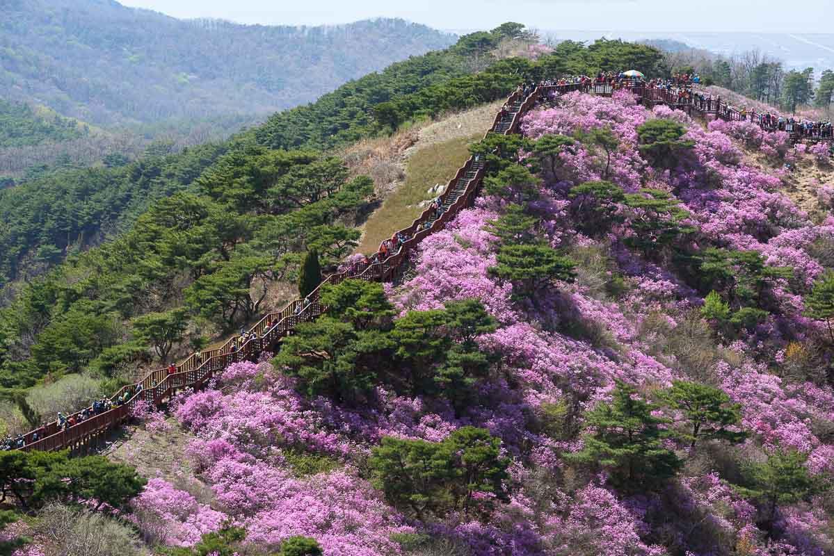 South-Korea_Incheon_azalea-festival