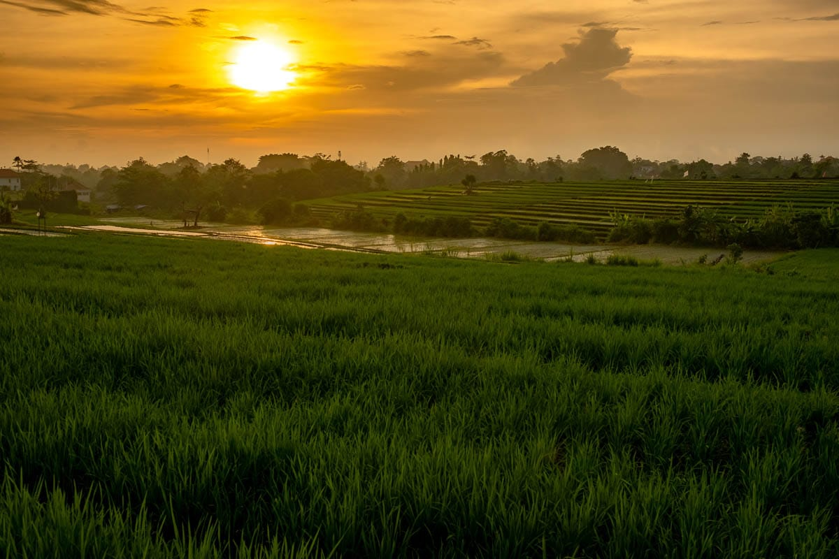rice fields at sunset in canggu bali