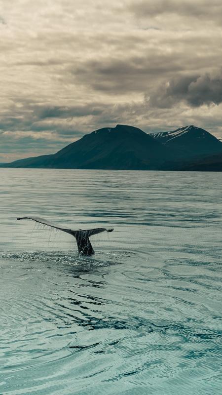 husavik iceland whale tail