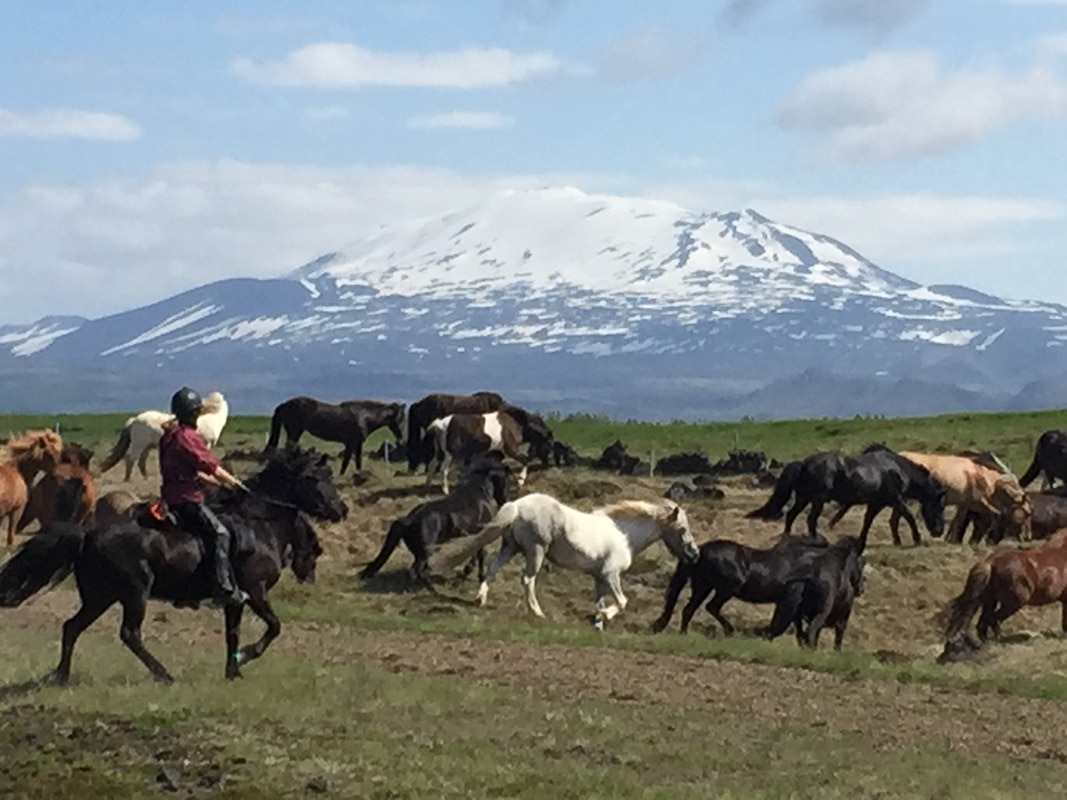 icelandic horses with mountain in background