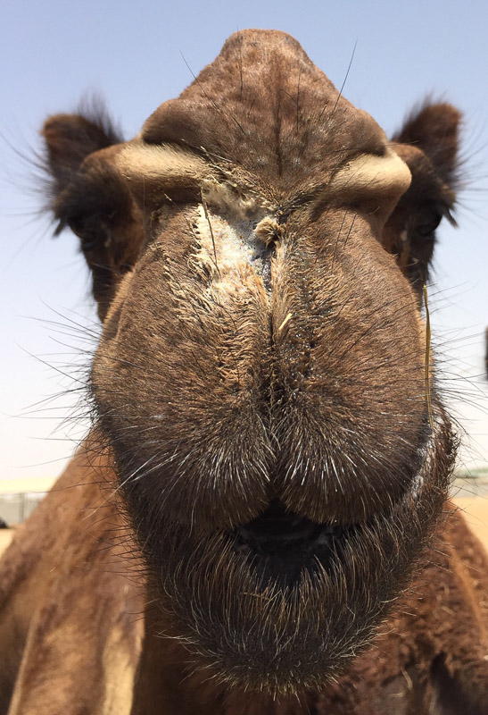 camel face up close