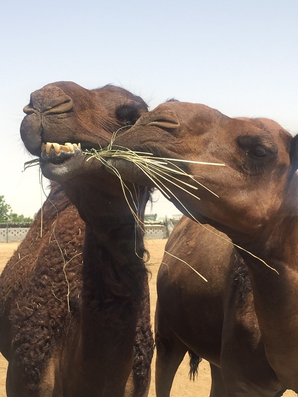 two camels eating straw up close