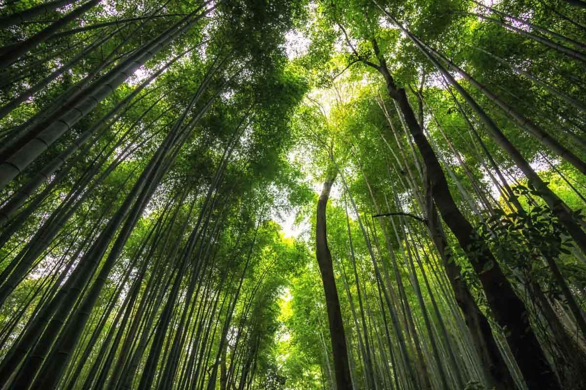Japan Arashiyama Bamboo Grove 1
