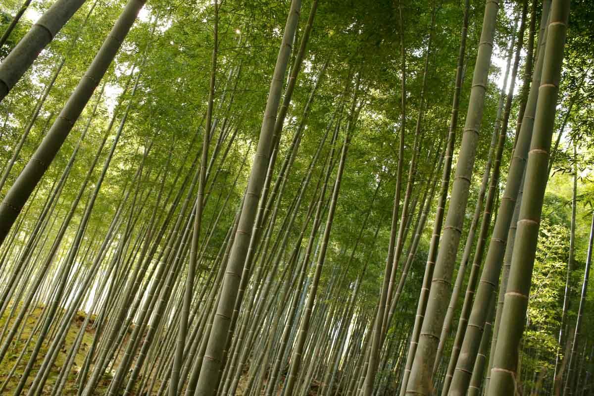 Japan Arashiyama Bamboo Grove 2