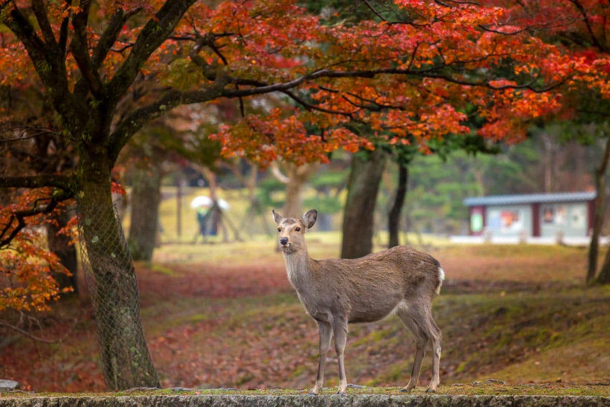 Japan deer in nara park in autumn
