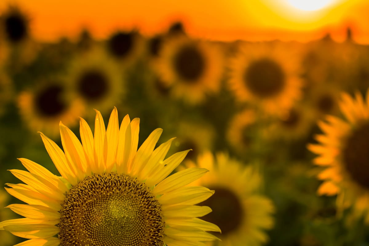 close up of texas sunflowers with sunset behind