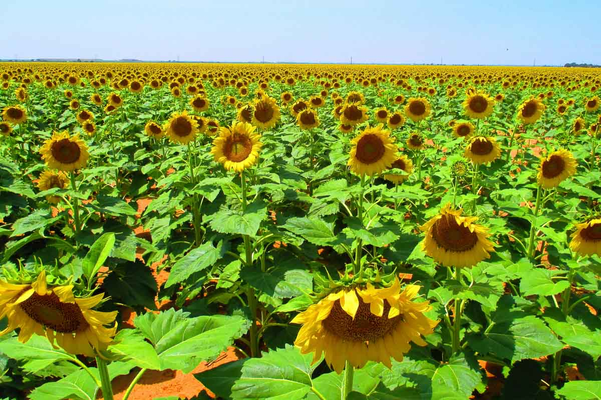 field of sunflowers in texas