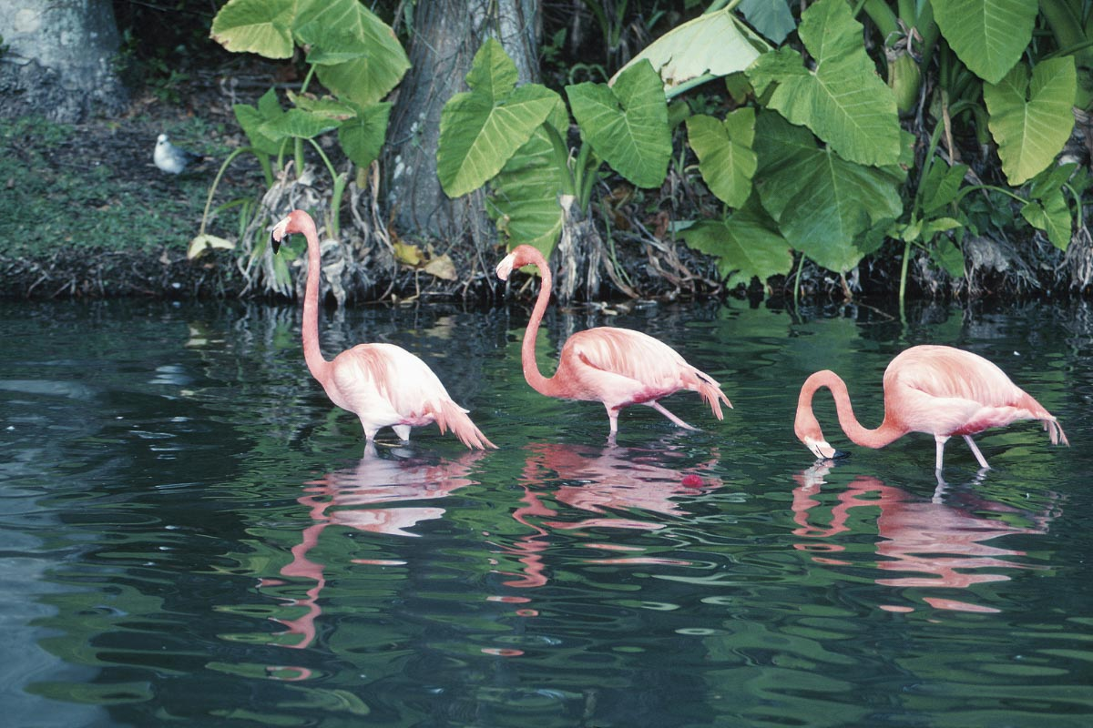 flamingoes in Everglades National Park Florida