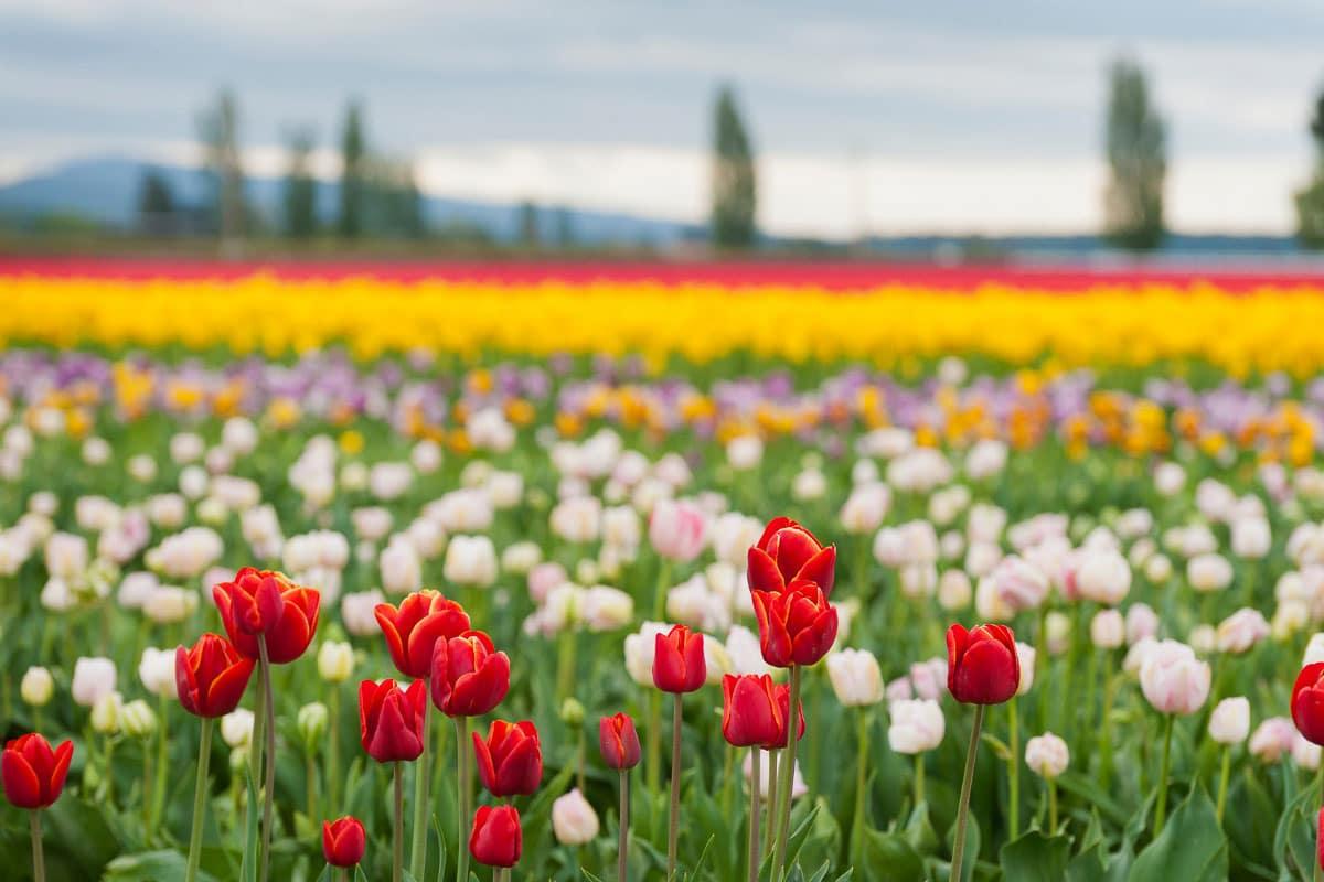 skagit valley tulips washington
