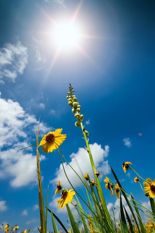 sunflowers in texas against a blue sky