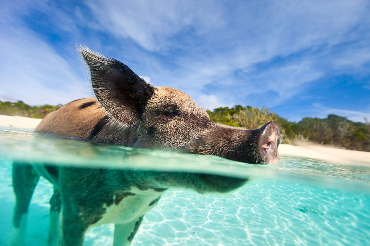 swimming pig in exuma bahamas