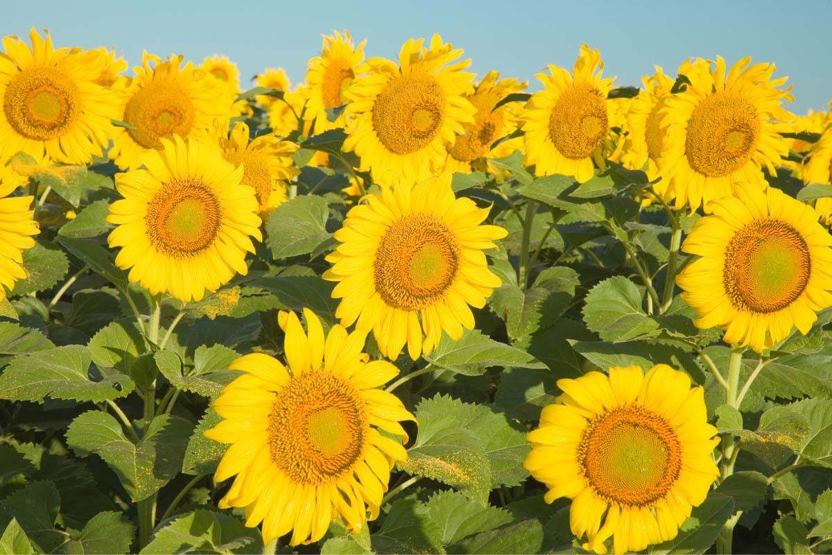 texas sunflower faces