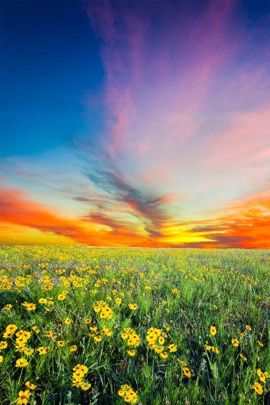 texas sunflower field at sunset