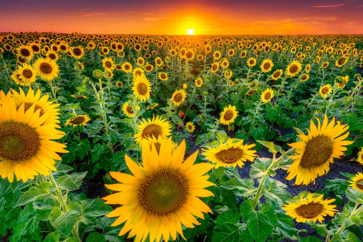 texas sunflower fields with sun dropping behind