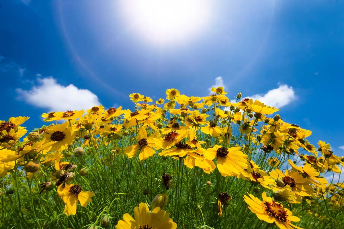 texas sunflowers against blue sky