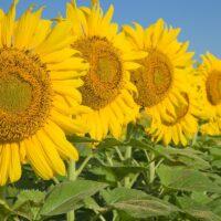 sunflower fields in new jersey in a row in a field