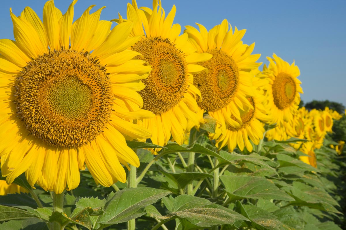 texas sunflowers in a row in a field