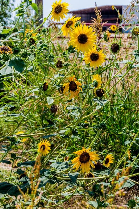 wild sunflowers in texas