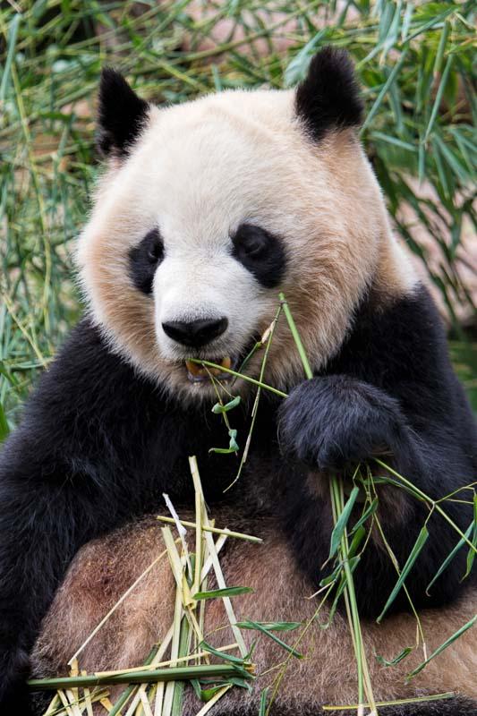 Dujiangyan Panda Base china
