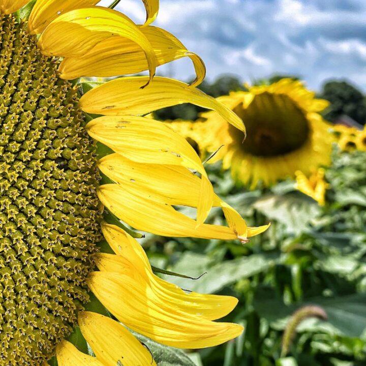 detailed sunflower head in foreground