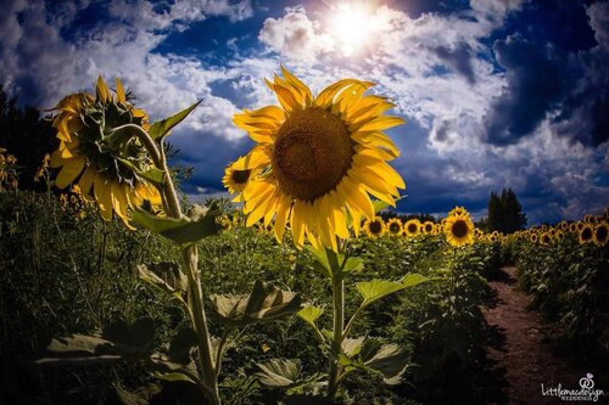 sunflowers up close against blue sky