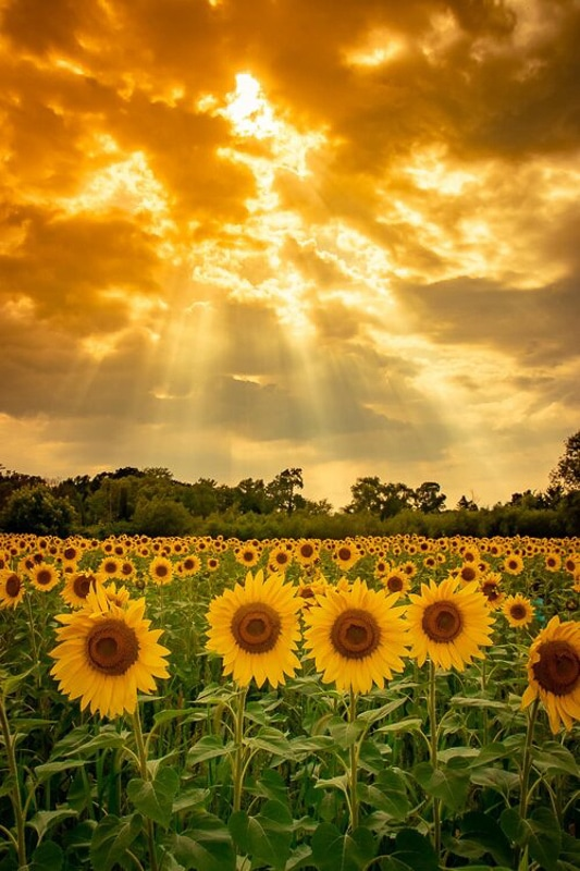 sunflower fields in minnesota under sun rays