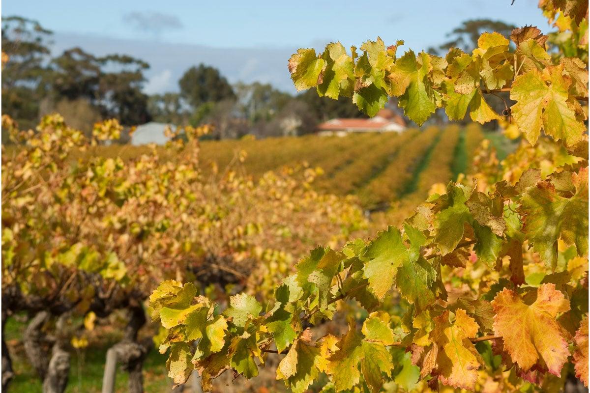 grapes of mclaren vale south australia