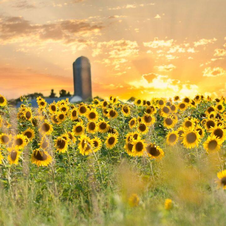 minnesota sunflower field at sunrise