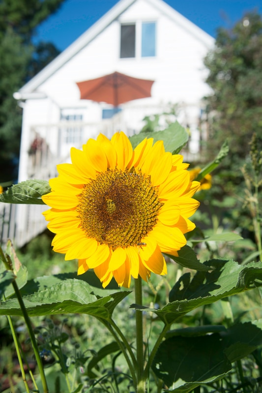 single sunflower in front of house