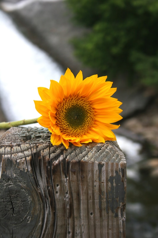 single sunflower rests on gate